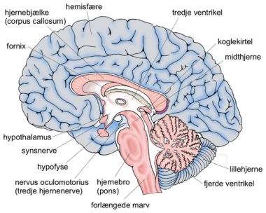 Hjernen Fra den store danske