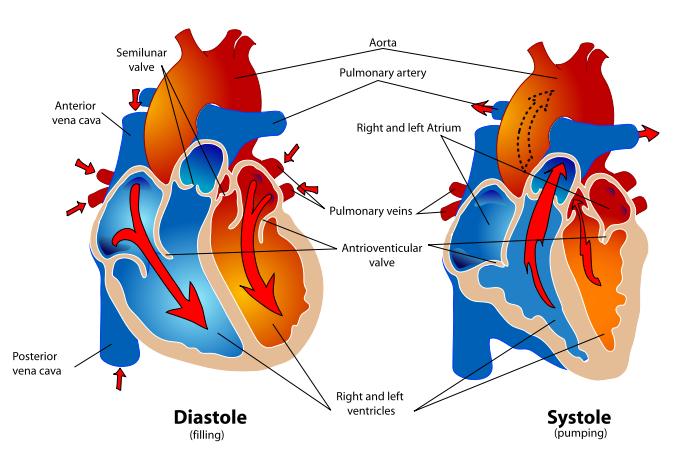 cardio_cardiac-cycle-290783_cliparthut_free_image