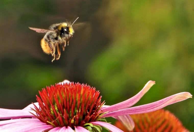 skeeze_Pixabay_bumblebee-951083