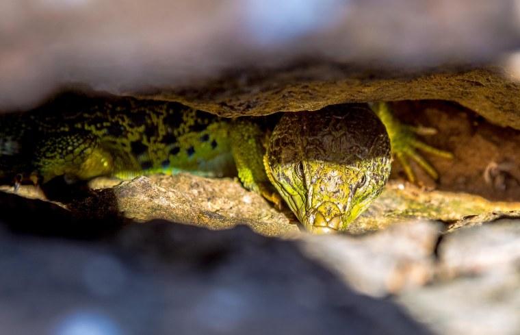 Algarve_Reptile_Portugal_Marina_Aagaard_blog