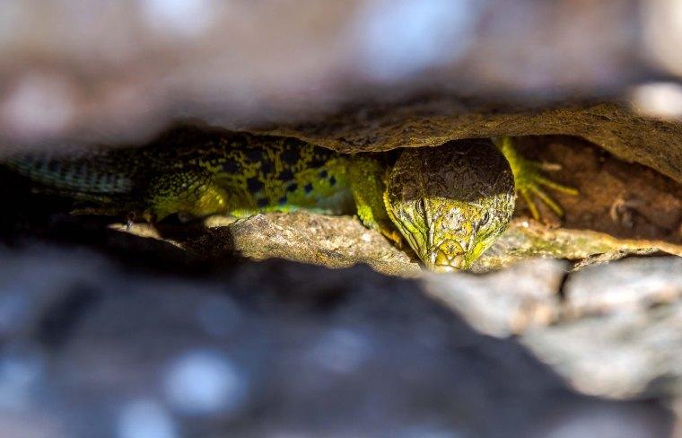 Algarve_Reptile_Marina_Aagaard_blog
