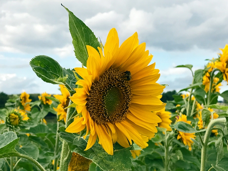 Solsikke_Sunflower_photo_Marina_Aagaard_blog