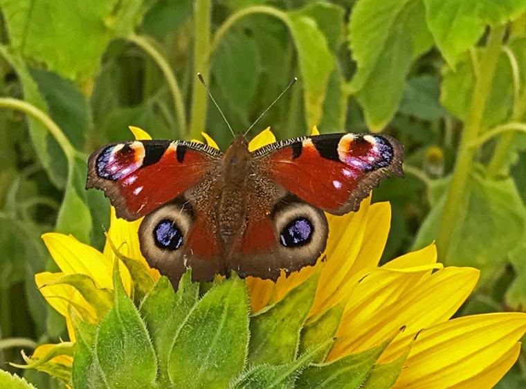 Solsikke_Sommerfugl_Sunflower_butterfly_photo_Marina_Aagaard_blog